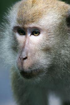 Free Macaque Monkey Stock Photos - 4406813