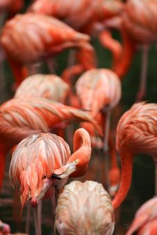 Pink Flamingoes Stock Images
