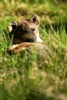 Free African Hyena Stock Photos - 4406903