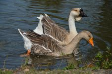 Free Duck   On The River Royalty Free Stock Image - 44030946