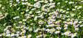 Free Delicate Field Of Flowers Royalty Free Stock Photo - 44051455