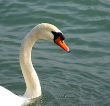 Free White Swan With A Long-necked Stock Image - 4410551