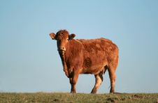 Isolated Cow Royalty Free Stock Image