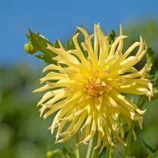 Free Yellow Dahlia Stock Photography - 4413172