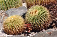 France, Nice, Parc Phenix: Echinocactus Grusonii Royalty Free Stock Photo