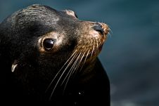 Free Sweet Seal Stock Photography - 4413462