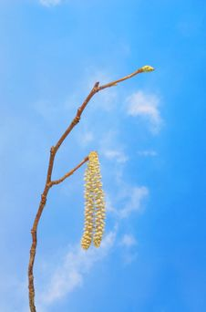 Free Catkin Against Blue Sky Royalty Free Stock Image - 4413516