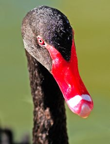 Free France, Nice: Close-up Of A Black Swan Royalty Free Stock Photography - 4413597