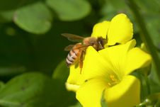 Free A Bee Sitting On A Yellow Flower II Stock Photos - 4413713