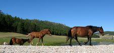 Free Horses Royalty Free Stock Photo - 4413825