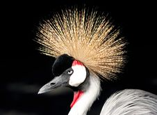 Free African Grey Crowned Crane Balearica Regulorum Royalty Free Stock Image - 4414166