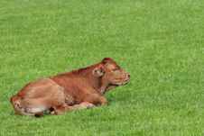 Free Brown Calf Royalty Free Stock Photo - 4414385