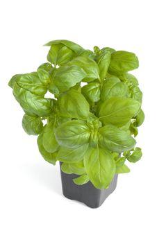 Free Fresh Basil Stock Image - 4415271