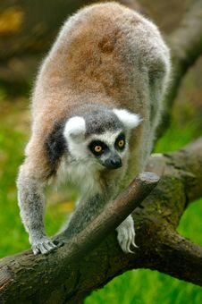 Free Lemur Royalty Free Stock Photography - 4416267