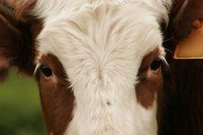 Free Portrait Of Cow Stock Photos - 4416493