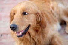 Free Golden Retriever Dog Stock Image - 4417881