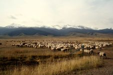 Free A Sheep Flock Walking Towards The Snow Mountain Stock Images - 4418324