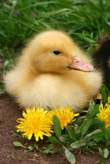 Free Small Duck And Yellow Flowers In The Afternoon Royalty Free Stock Images - 4418939