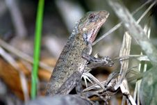 Free Lizard (Mauritius) Stock Images - 4419244