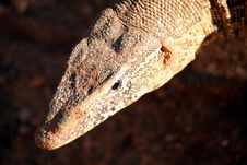Free Monitor Lizard (South Africa) Stock Image - 4419531