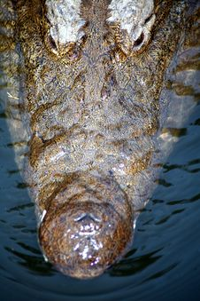 Free Crocodile (South Africa) Stock Image - 4419711