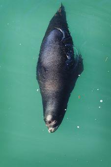 Free Sea Lion In Monterey Bay Royalty Free Stock Photo - 4419845