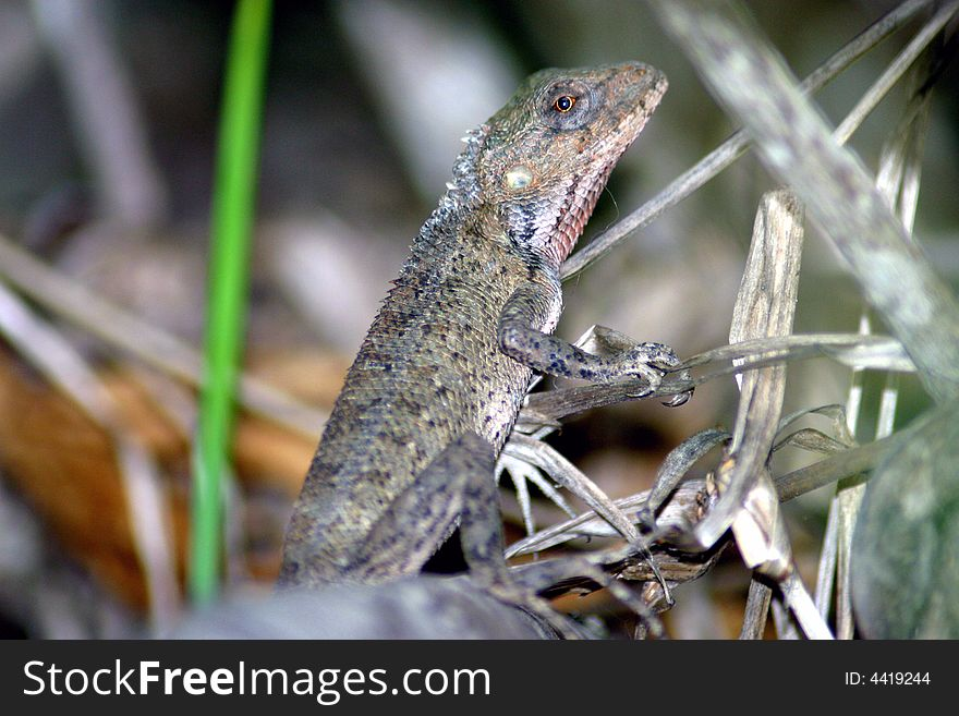 Lizard (Mauritius)