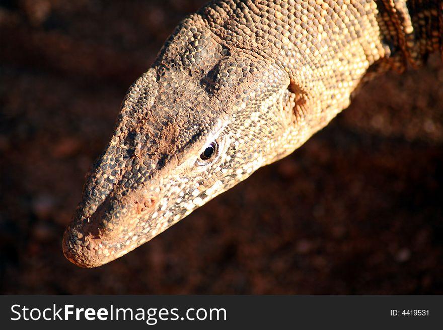 Monitor Lizard (South Africa)