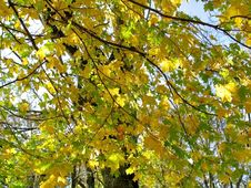 Free Autumn Leaves On Twigs Of Maple Stock Images - 44129224