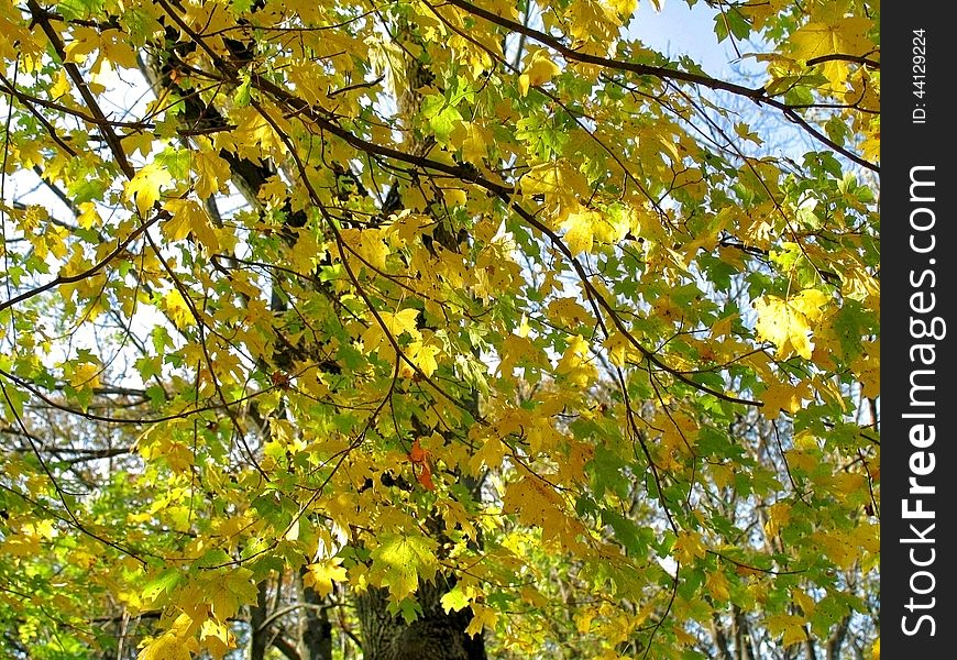 Autumn leaves on twigs of maple