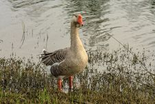 Free Large Goose Royalty Free Stock Photography - 44149367