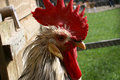 Free Cockerel Stock Images - 4420984