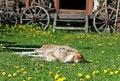 Free Sleeping Dog Stock Photo - 4422450
