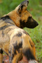 Free African Hunting Dog Stock Photo - 4427790
