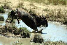 Wildebeest Jumping (Kenya) Royalty Free Stock Photo