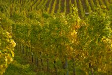 Free Wineyards Royalty Free Stock Image - 4420606