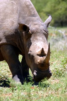 White Rhino (South Africa) Royalty Free Stock Photography