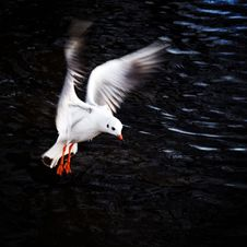 Free A Seagull Hovering Looking For Food Royalty Free Stock Images - 4421259