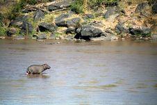 Free Hippo (Kenya) Stock Image - 4421281