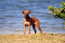 Free Mastiff On Beach Royalty Free Stock Image - 4421346