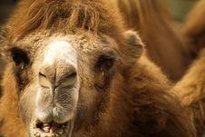 Free Camel 1 Stock Photo - 4422630