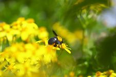 Free Bee Collecting Nacter Royalty Free Stock Photos - 4423178