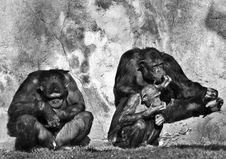 Chimpanzees Royalty Free Stock Image