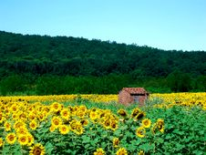 Free Sunflowers Royalty Free Stock Photos - 4423358
