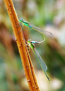 Free Double Damselfly Stock Photography - 4423622