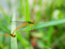 Double Damselfly Royalty Free Stock Photo