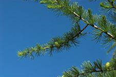 Free Pine Stock Image - 4424781