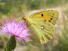 Free Balkan Clouded Yellow Stock Images - 4425934
