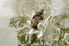 Free Landing Duck Stock Photography - 4426162