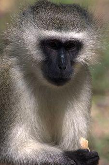 Free Vervet Monkey Stock Images - 4426374